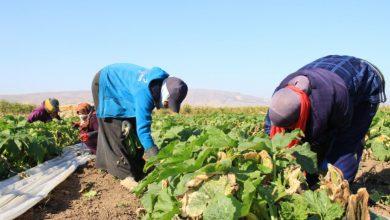 كورونا والزراعة