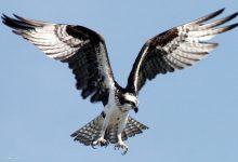 الطائر هو الكندور، وهو أضخم الطيور القادرة على التحليق عاليا
